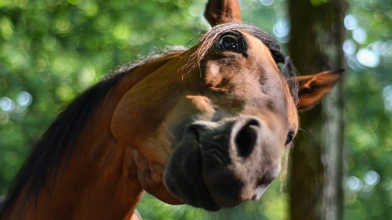 Kumpulan Gambar Hewan Lucu - Kuda Penasaran