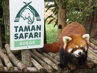 Wisata Taman Safari Indonesia - Panda Merah